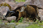 Moutons Soay