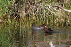 Grèbe castagneux / Gallinule