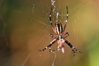 Argiopes frelon